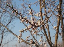 Free Apricot Blossom Stock Images - 32760824