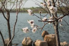 Free Apricot Blossom Stock Photography - 32760922