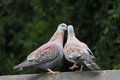 Free Two Rock Doves Culumba Guinea Kissing Royalty Free Stock Photography - 32773397