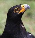 Free Portrait Of Vereauxs Black Eagle &x28;Aquila Verreauxii&x29; Looking Up Royalty Free Stock Image - 32773556