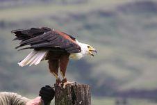 Free African Fish Eagle &x28;haliaeetus Vocifer&x29; On Tree Tr Stock Image - 32774011