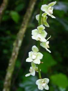 Wild Orchids In Forest Of Thailand Stock Images