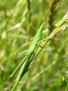 Free Grass Grasshopper Royalty Free Stock Photography - 32788817