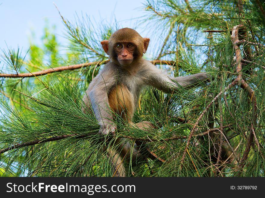 Monkey on the pine-tree