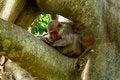 Free Sleeping Monkeys On The Tree Stock Photos - 32790153