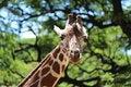 Free Giraffe Stock Images - 32795704
