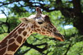 Free Giraffe Royalty Free Stock Photo - 32795715