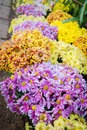 Free Variety Color Of Chrysanthemum Royalty Free Stock Photography - 32796667