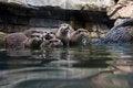 Free Otters Stock Photo - 32797510