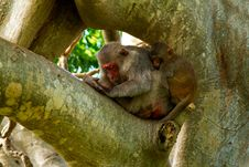 Free Sleeping Monkeys On The Tree Stock Photos - 32790153