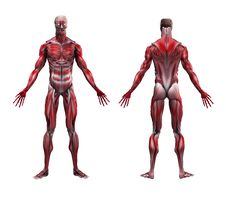 Free Male Musculature Anatomy Royalty Free Stock Photos - 32795038