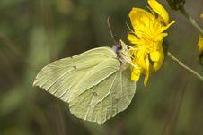 Butterfly &x28;Gonepteryx Rhamni&x29;