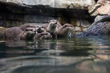 Free Otters Stock Photo - 32797510