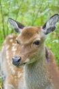 Free Fallow Deer Stock Photos - 3281443