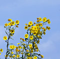 Free Yellow Wildflower Royalty Free Stock Photography - 3288957