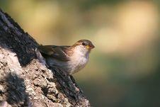 Free Sparrow Stock Photos - 3280193