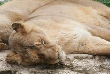 Free Lioness Stock Photography - 3281162