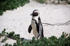 Free Magellan Penguin Walking Stock Image - 3281321