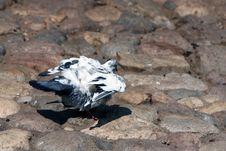Free Dove Stock Photo - 3282360