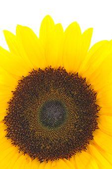 Free Sunflower Royalty Free Stock Image - 3282366
