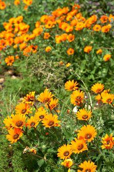 Free Field Of Orange Wild Flowers Stock Photos - 3282813