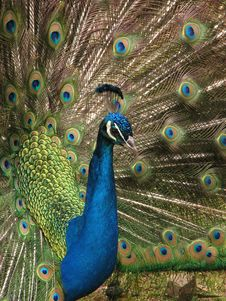 Free Proud Peacock Showing Feathers Stock Images - 3284194