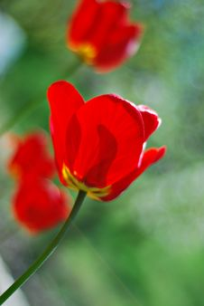 Free Red Tulips Vertical Stock Photos - 3284693