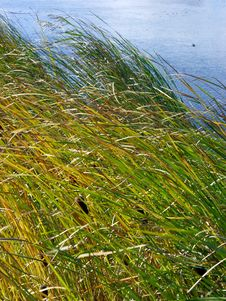 Growing Yellow And Green Reed Stock Photos