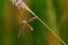 Free Mosquito Royalty Free Stock Images - 3287709