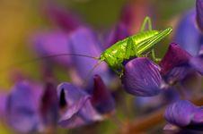 Free Grasshopper Royalty Free Stock Photos - 3287768