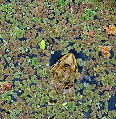 Free Algae Background With Frog Stock Image - 3287821
