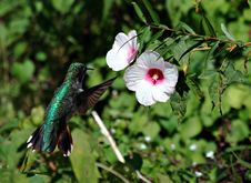 Free Humminbird And Wildflower Royalty Free Stock Image - 3288946