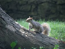 Free Gray Squirrel Stock Photos - 3289453