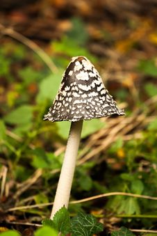 Free Coprinopsis Picacea - Magpie Inkcap Toadstool Royalty Free Stock Photo - 32804355