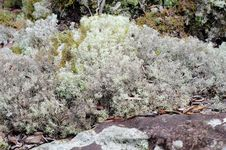 Free Reindeer Moss Royalty Free Stock Images - 32807059