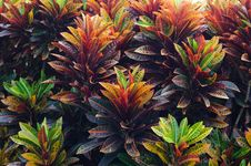 Free Croton Leaves Royalty Free Stock Image - 32807246