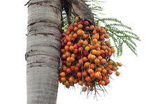 Free Palm Fruits Stock Image - 32807291