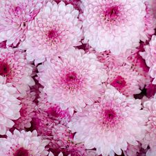 Free Asters Flower Background Stock Photography - 32807802