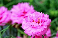 Free Close Up Portulaca Flower In The Garden Royalty Free Stock Photo - 32809895