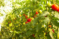 Free Growing Tomatoes Royalty Free Stock Photography - 32829887