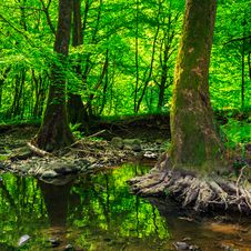 Free Strong Roots In Creek Stock Image - 32821291