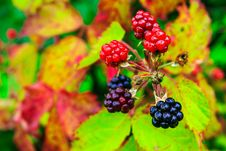 Free Wild Blackberry Ripening Process Royalty Free Stock Photography - 32821297