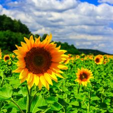Free Rows Of Young Sunflowers Square Royalty Free Stock Images - 32821299