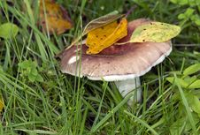 Free Russula. Royalty Free Stock Photo - 32823605