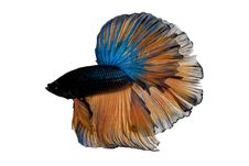 Free Siamese Fighting Fish Royalty Free Stock Photography - 32823797