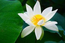 Free White Lotus Flower Royalty Free Stock Photo - 32824665