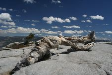 Free Jeffrey Pine, Sentinel Dome, Yosemite Royalty Free Stock Photo - 32824845