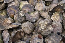 Free Closed Oysters Stock Photos - 32825823