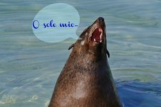 Free Cape Fur Seal... Stock Photography - 32827612