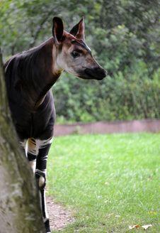 Free Okapi Royalty Free Stock Photos - 32829328